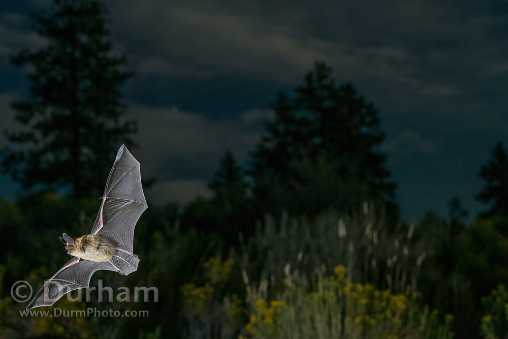 Bat flying at night in ponderosa forest in Central Oregon. © Michael Durham