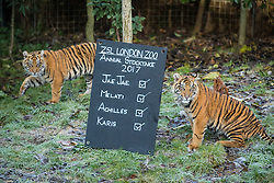 © Licensed to London News Pictures. 03/01/2017. London, UK. Karis (L) and Achilles (R), Sumatran Tiger cubs, at the London Zoo annual stocktake. Photo credit: Rob Pinney/LNP
