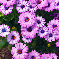 Purple and pink flowers named Osteospermum otherwise know as African Daisies or Cape Daisies.