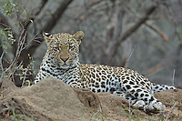 Leopard (Panthera pardus) on a termite mound, South Africa