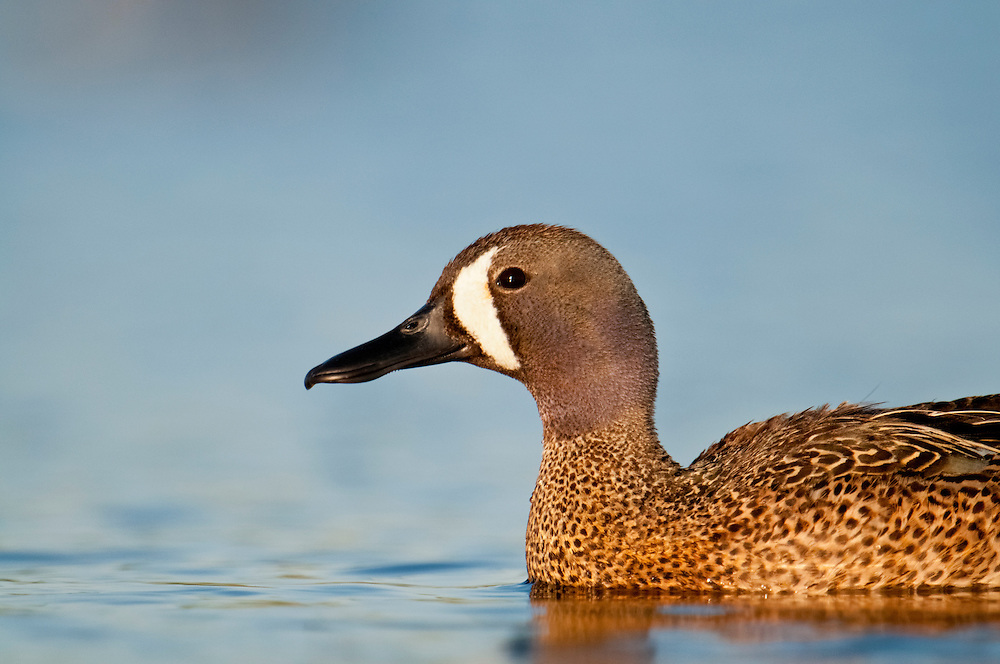 Blue-winged Teal, Anas discors, male, Brown County, South Dakota