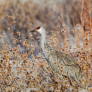 Sandhill crane with frosted sunflower seed pods, © 2011 David A. Ponton