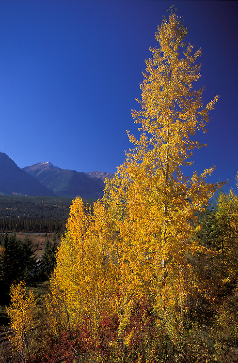 Aspen trees in fall colors, Yoho National Park, British Columbia, Canada