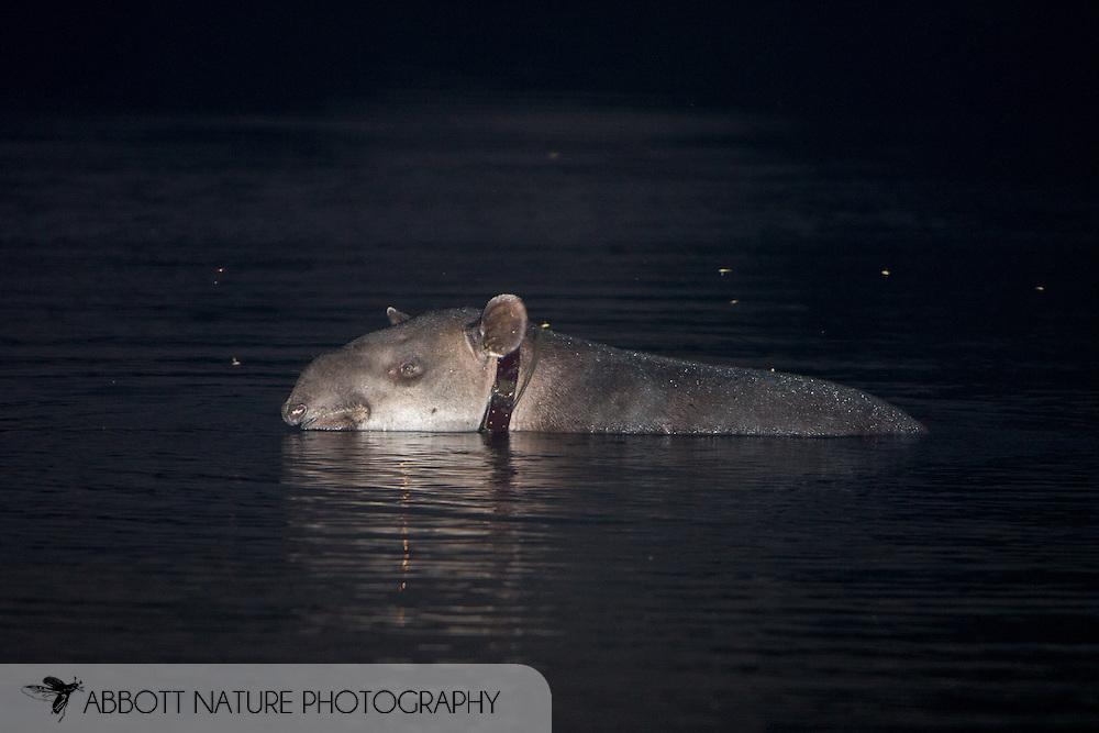 Tapirus bairdii - Thor (Central American Tapir, Baird's Tapir): Mammalia: Perissodactyla: Tapiridae<br /> COSTA RICA<br /> Corcovado National Park; Sirena Biological Station<br /> 3-15.Jan.2008<br /> J.C. Abbott #2353