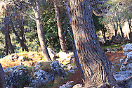 A grove of pine trees in the Valley of the Cross in Jerusalem. WATERMARKS WILL NOT APPEAR ON PRINTS OR LICENSED IMAGES.