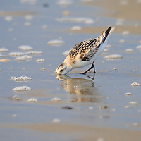 A sanderling (Caladris alba) feeds in the surf just after sunrise, Chincoteague National Wildlife Refuge, Assateague Island, Virginia.