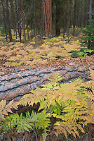 Bracken Ferns and Ponderosa Pines in autumn along the Metolious River, Deschutes National Forest Oregon