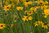 A wild garden of brown-eyed Susans is colorful and fresh.