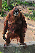 Orangutan, Pongo pygmaeus standing - full body
