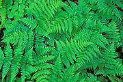 Bracken ferns (Pteridium aquilinum) and sorrel (Oxalis oregana) in the Queets Rain Forest, Olympic National Park, Washington