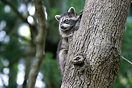 A Baby Raccoon Clinging To A Tree Trunk