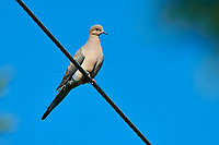 Mourning Dove (Zenaida macroura) perched on a wire, Cherry Hill, Nova Scotia, Canada