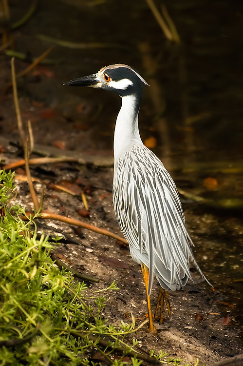 The very shy and skittish yellow-crowned night heron seen here among the mangroves on Sanibel Island.