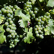 Sauvignon Blanc grapes on the vines in the Marlborough Wine region, Blenheim, South Island, New Zealand.<br /> <br /> The Marlborough wine region is New Zealand's largest wine producer. The Marlborough wine region has earned a global reputation for viticultural excellence since the 1970s. It has an enviable international reputation for producing the best Sauvignon Blanc in the world. It also makes very good Chardonnay and Riesling and is fast developing a reputation for high quality Pinot Noir. Of the region's ten thousand hectares of grapes (almost half the national crop) one third are planted in Sauvignon Blanc. Marlborough, New Zealand, 10th February 2011. Photo Tim Clayton