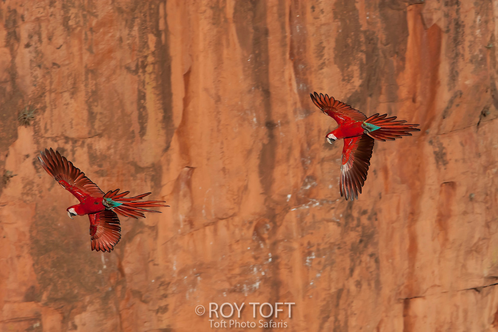 Pair of Green-winged macaw in flight.