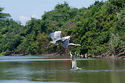 Herons in flight. Venezuela