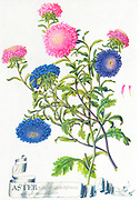 Hand painted ancient illustration of various Aster flowers