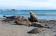 Souther Elephant Seals (Mirounga leonina) at Elephant Point, Livingston Island, Antarctica. The dominant male defends his harem