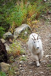 United States, Washington, mountain goat on trail, Mt. Washington