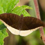 Grey Count (Tanaecia lepidea) is a species of nymphalid butterfly found in South and Southeast Asia.