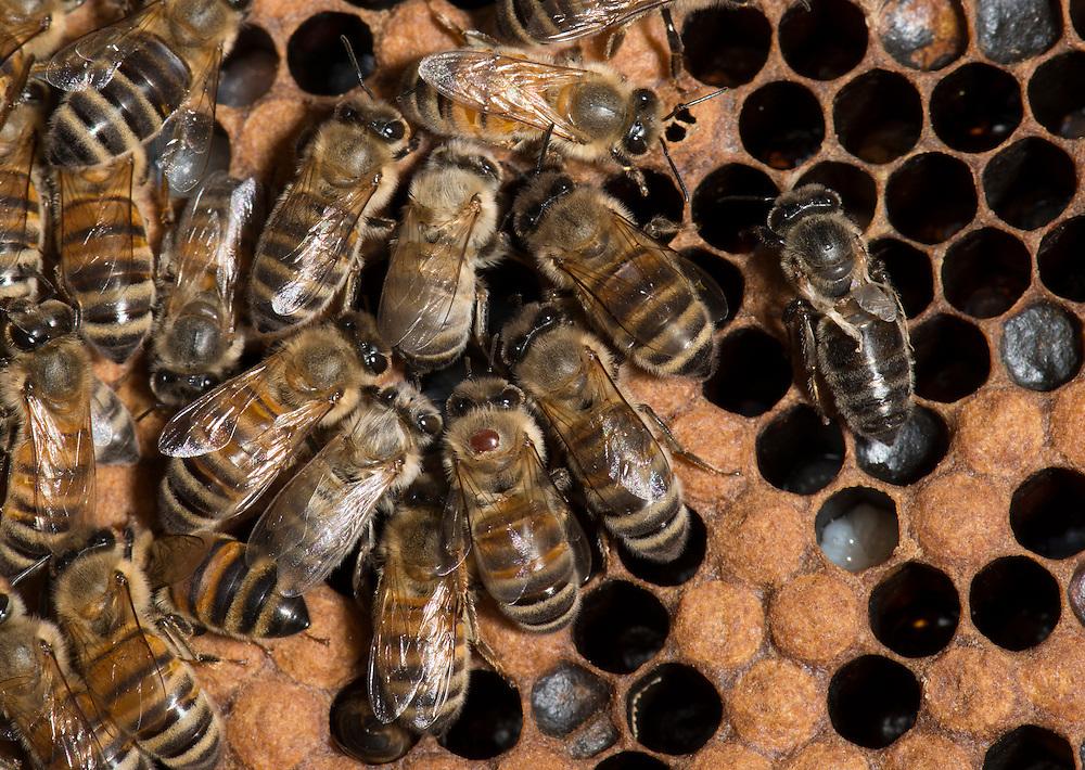 European honey bee (Apis mellifera), deformed wing virus and new hatchlings, Captive,  credit: Palo Alto JMZ/M.D. Kern
