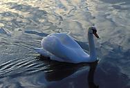 DEU, Germany, mute swan (lat. Cygnus olor)....DEU, Deutschland, Hoeckerschwan (lat. Cygnus olor)........