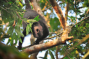 "howler monkey,  Alouatta caraya. Belize, baboon sanctuary, A unique conservation effort brings together eight villages to protect the population and habitat of Belize's Black Howler Monkey, affectionately called ""baboons"" by the locals. A wild howler monkey has a man made star stuck in it's fur."
