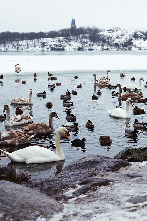Swans and the ducks at the frozen Malaren, Riddarfjärden lake in Stockholm.  Photo was taken from Kunghsholmen with the island of Södermalm in the background