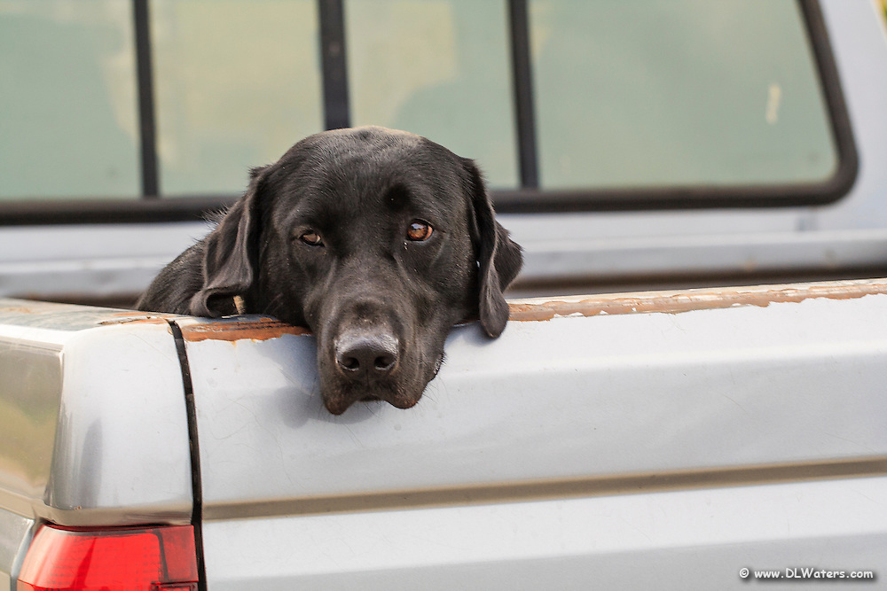A loyal black lab waiting for its master in the back of a pickup truck.