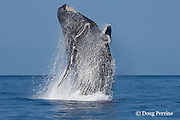 humpback whale, Megaptera novaeangliae, breaching, Endangered Species, Maui, Hawaii ( Central Pacific Ocean ) caption must include photo taken under NMFS research permit #587-1767