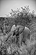 African Elephant (Loxodonta africana), Kruger National Park, South Africa.