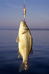 Stock photo of a White bass (Morone chrysops)hanging from a lure