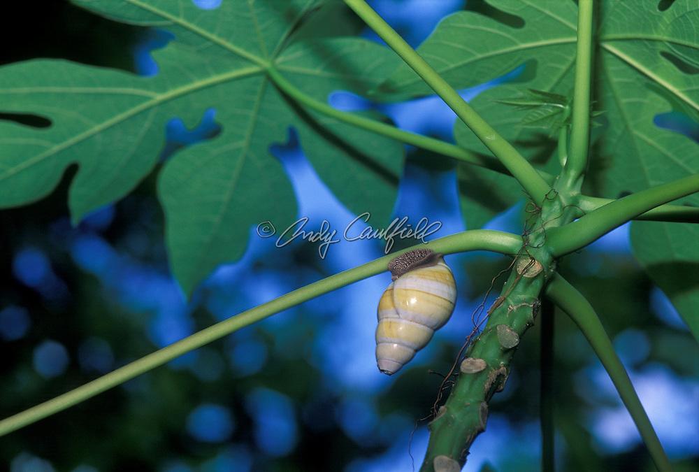 Liguus tree snail, Everglades NP, Florida USA