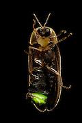 Firefly (Lamprohiza splendidula), Göhrde, Germany. | Männlicher Kleiner Leuchtkäfer, Glühwürmchen (Lamprohiza splendidula).  Die männlichen Leuchtkäfer beginnen mit einbruch der Dunkelheit zu leuchten und stimmulieren damit die flügellosen Weibchen im Gras es ebenso zu tun. So finden sich die Geschlechtspartner zur Paarung. Göhrde, Deutschland