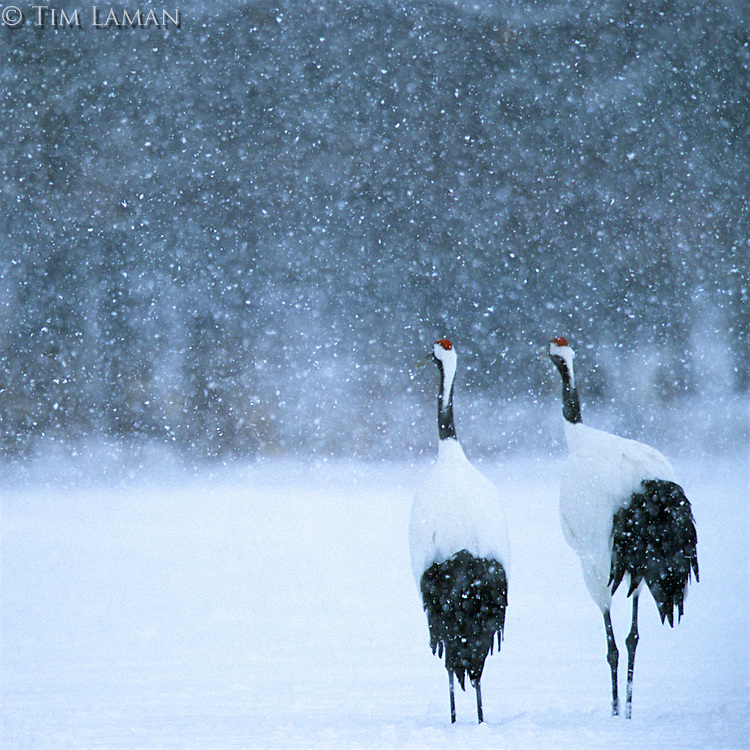 Red-crowned Crane pair in  a snowstorm, Hokkaido, Japan<br /> Endangered Species (IUCN Red List: EN)
