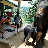 PINNAWELA, OCTOBER-3 : The orphanages'  latest newcomer,  an 8 day old baby shyly seeks shelter behind mother Mathali's  trunk while a tourist takes a picture  as they walk through Pinnawala, October 3, 2005, Sri Lanka.  The baby is considered a second generation elephant as it descends from an orphan mother .PINNAWELA, OCTOBER-3 : an elephant greets a visitor   in Pinnawela, October 3, 2005, Sri Lanka.   .The Pinnawela orphanage was started in 1975 and initially designed to afford care and protection to the many baby elephants found in the jungle without their mothers. In most cases the mother either had died or been killed. .Animals are allowed to roam freely duringthe day and a herd structure allows to form. there are only a few elephant orphanges worldwide. At Pinnawela an attempt was made to simulate, in a limited way, the conditions in the wild. Currently the herd consists of 75 elephants under the surveillance of legendary  Mahout chief Sumanabanda.
