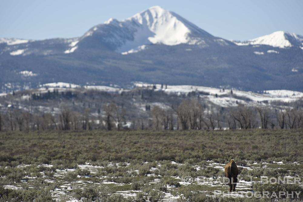 Bison on Antelope Flats, Grand Teton National Park, Wyoming