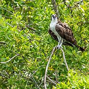 Osprey perched on mangrove Mayakoba, Riviera Maya. Mexico.