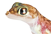 Portrait of Pachydactylus rangei, the Namib sand gecko or web-footed gecko