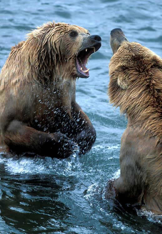 USA, Alaska, Katmai National Park, Grizzly Bears (Ursus arctos) fight in Brooks River during summer red salmon run