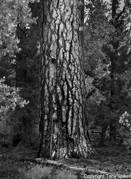 """Pine Tree 1"" - A black and white photograph of a White Pine Tree and Aspens near Parker Lake, in the Eastern Sierra Nevada Mountains"