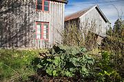 Småbruket Berget i Vikvarvet i Selbu er fraflyttet. I kjøkkenhagen er det rabarbra, primula og gamle bærbusker med rips.