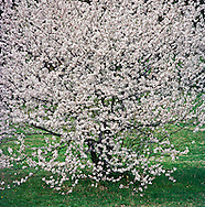 Cherry Blossoms, National Arboretum, Washington DC, USA
