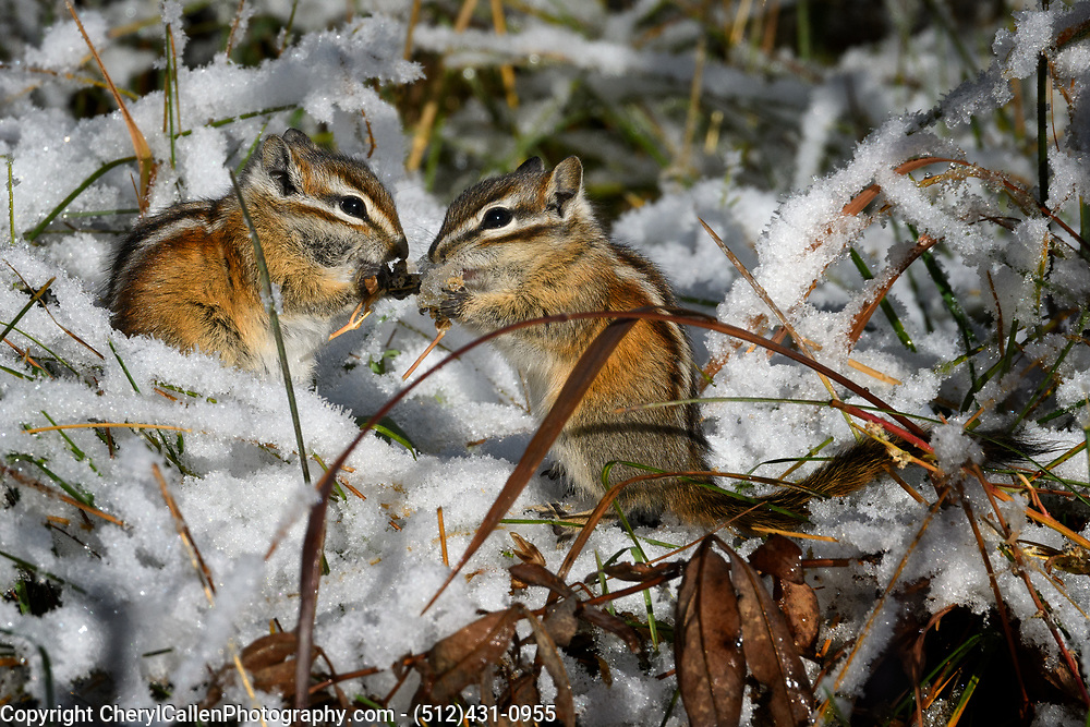 Two Colorado Chipmunks sharing a meal together