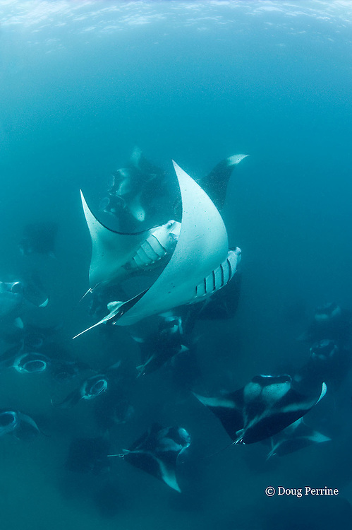 manta rays, Manta alfredi (formerly Manta birostris ), vortex-feeding on plankton, Hanifaru Bay, Baa Atoll, Maldives ( Indian Ocean )