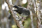 South Island Tomtit, Fiordland, Routeburn Track, New Zealand
