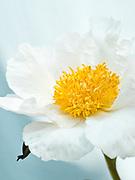 Paeonia lactiflora 'Shaylor's Sunburst' - peony