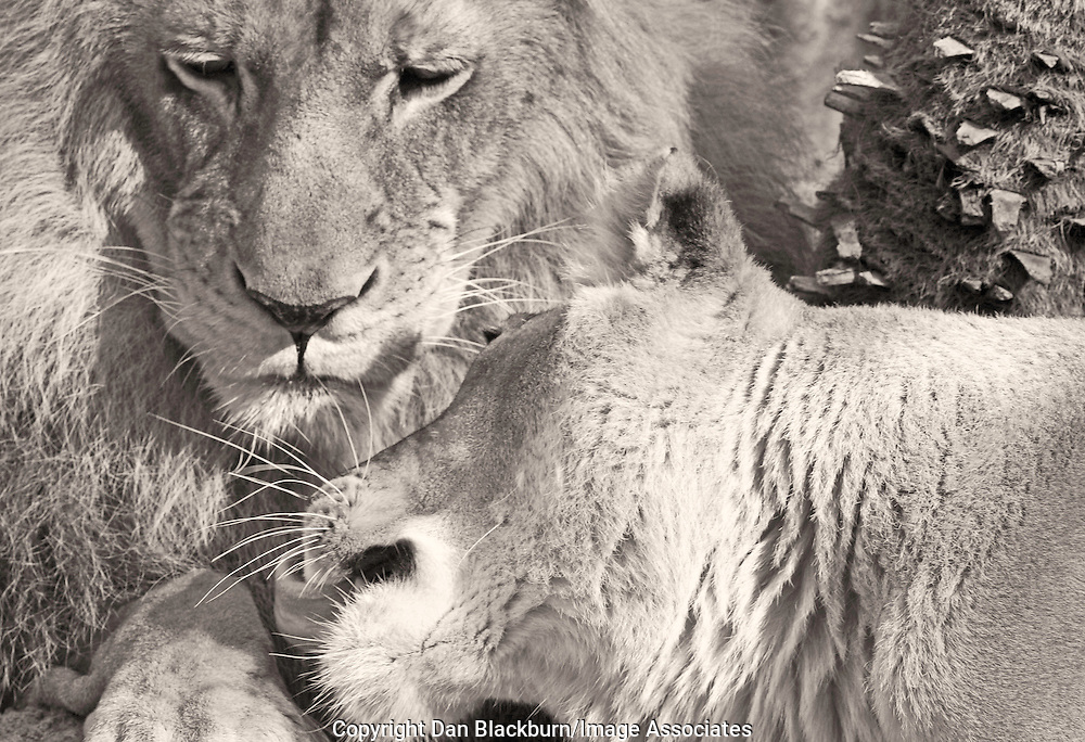 Male & Female Lion Cuddling on a Hot Summer Day