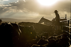 "Cowboys prepare cattle for branding at the J Bar L ranch, a unique conservation-friendly ranch nestled into the wide open land of the Centennial Valley in southern Montana. The ranch finishes their cattle on grass, in contrast to the vast majority of ranches in the U.S. that send cattle to feedlots. The 2,000 head at J Bar L ""never go into a feedlot,"" said Bryan Ulring, manager of the ranch. He added that J Bar L is one of the biggest grass finishers in the state. The Centennial Valley is an important wildlife corridor for elk, moose, antelope, deer, wolverines, grizzly bears, wolves and hundreds of bird species. The valley is largely owned by a handful of large ranches, which means their use of the land impacts the local environment. © Ami Vitale"