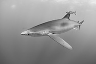 "The blue shark (Prionace glauca) named also blue skin is a pelagic shark, the only species of Prionace genre. The skin is bluish on the top, the stomach is white. The snout is long and disentangled. He can reach 3,00 to 3,50 meters of length for 180 kg weight and a longevity of about fifteen years. Present in all moderated and tropical oceans, he evolves between 400 meters deep and the surface. He is a big migrant which feeds on fishes, squids, cuttlefishes and the other sharks. His mode of reproduction is Viviparous animal, hundred youngs are born formed by a size of 40 cm in term of one year gestation. The young people reach the sexual maturity at about 4 or 5 years. He is a victim of drift nets, sports fishing, commercial fishing and shark finning. He is classified ""Near threatened"" by the red list of the UICN."